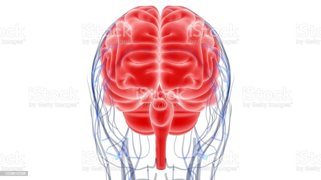 Human Brain Anatomy Stock Photo More Pictures Of Abstract Istock