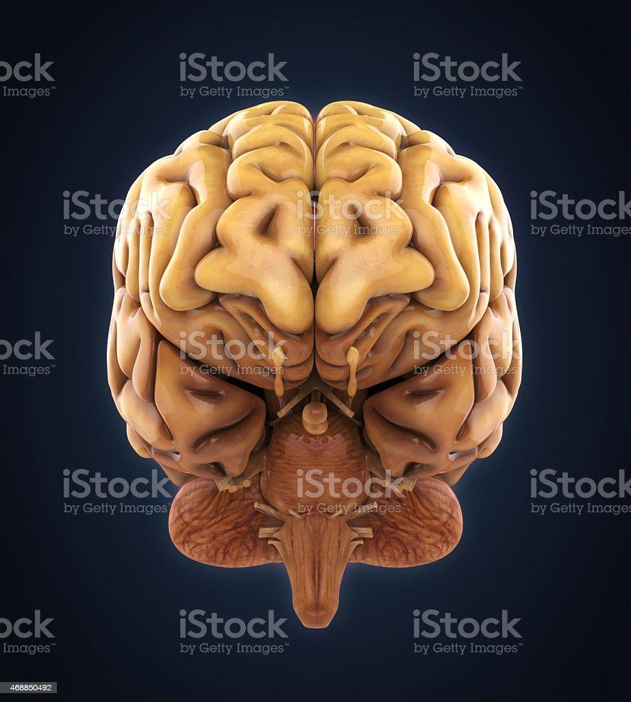 Cerebro Humano Anatomía - Stock Foto e Imagen de Stock | iStock