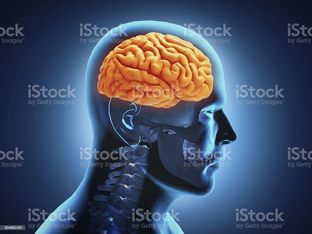 Fotografía de Cerebro Humano Anatomía y más banco de imágenes de ...