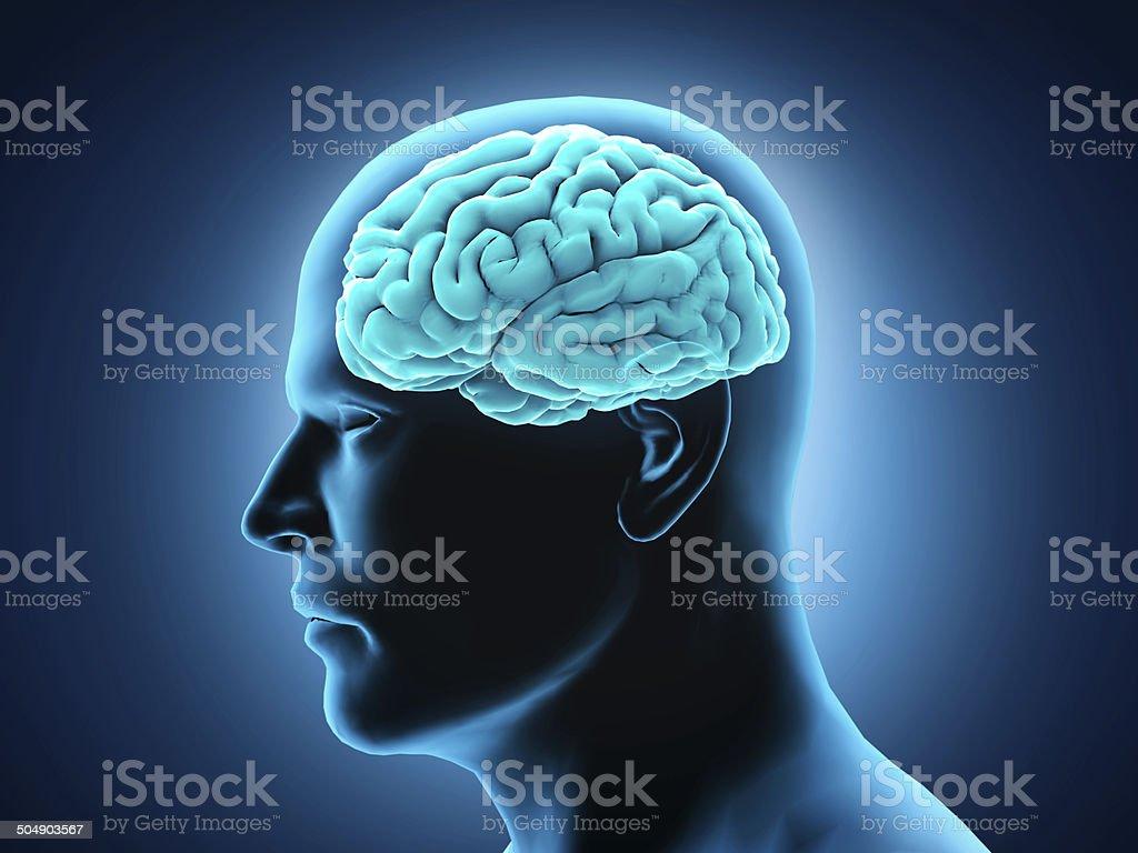 Cerebro Humano Anatomía - Fotografía de stock y más imágenes de ...