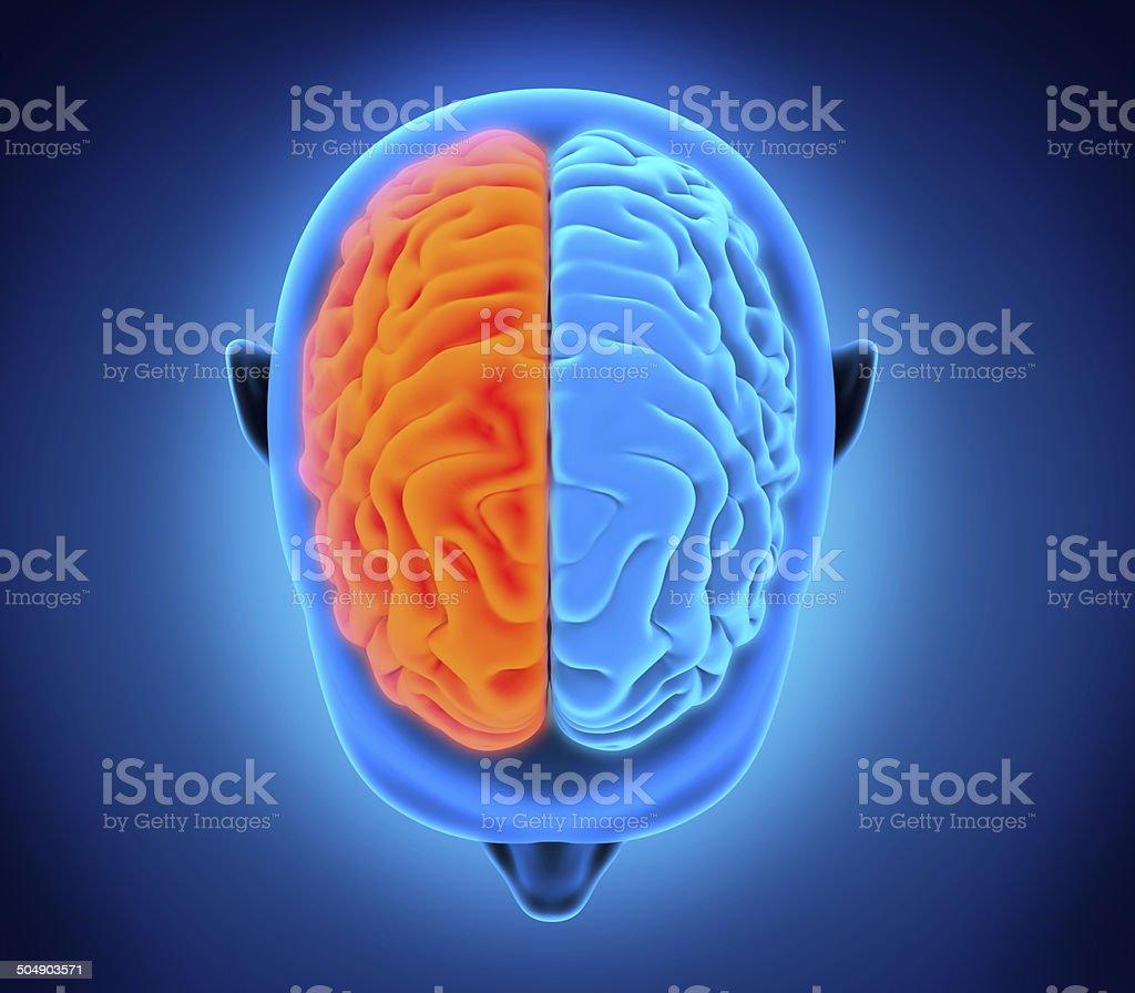 Human Brain Anatomy royalty-free stock photo