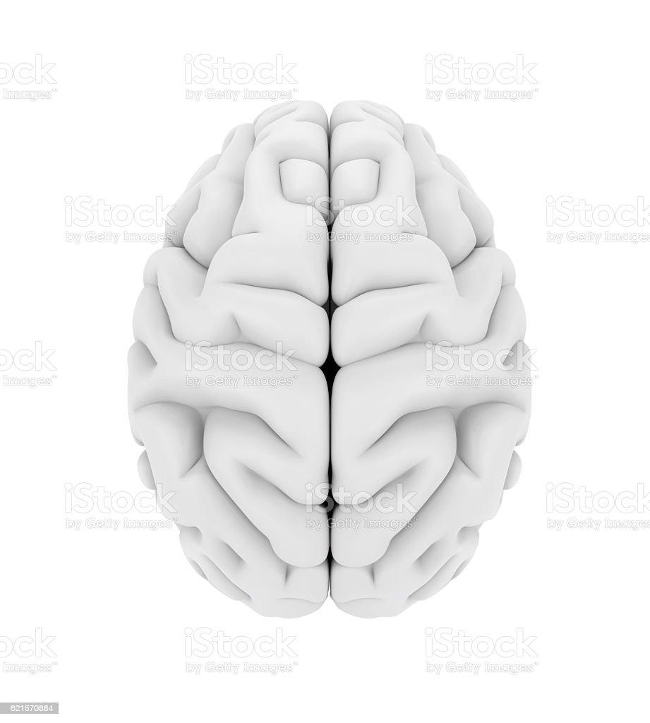 Cerveau humain Anatomie photo libre de droits