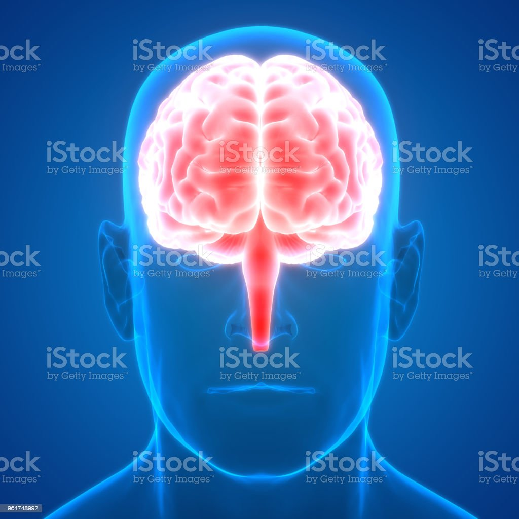Human Brain Anatomy royalty-free stock photo