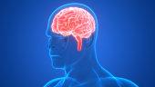 istock Human Brain Anatomy 964749014