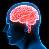 istock Human Brain Anatomy 970416936