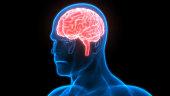 istock Human Brain Anatomy 970417074