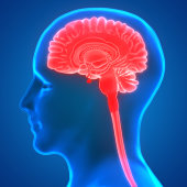 istock Human Brain Anatomy 970417342