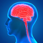 istock Human Brain Anatomy 970417430