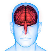 istock Human Brain Anatomy 975980912