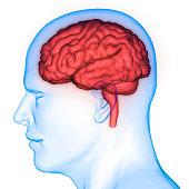 istock Human Brain Anatomy 975980974