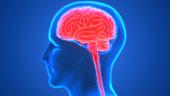 istock Human Brain Anatomy 990940716
