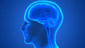 istock Human Brain Anatomy 990940786