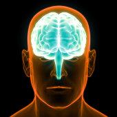 istock Human Brain Anatomy 990947878