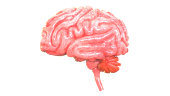 istock Human Brain Anatomy 992650674