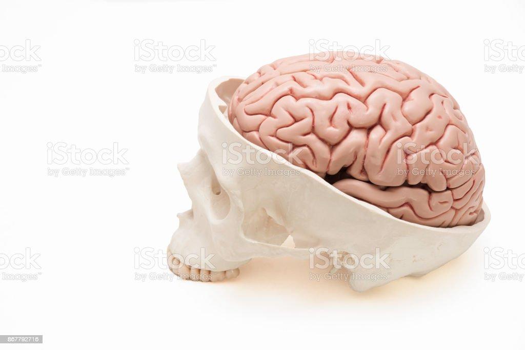 Menschliches Gehirn Und Schädel Modell Auf Weißem Hintergrund ...