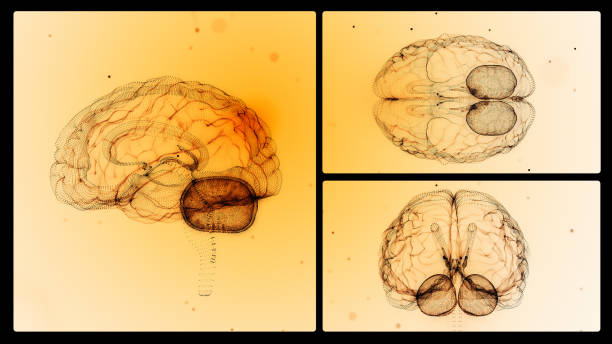 Human Brain From Different Angles Human brain from different angles. Horizontal composition with copy space. cerebellum stock pictures, royalty-free photos & images