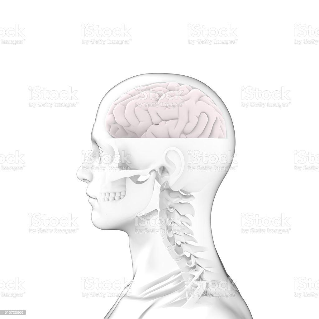 Human Brain, Head Anatomy stock photo