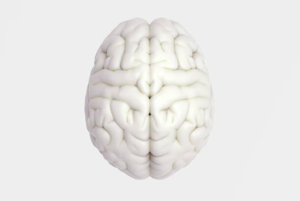 cérebro humano no topo ver os isolados na bg branco - brain - fotografias e filmes do acervo