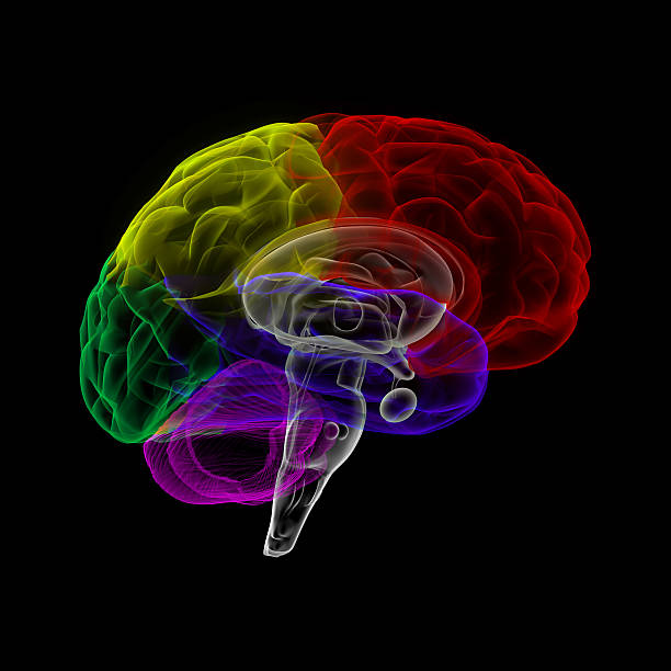 Human brain in x-ray view stock photo