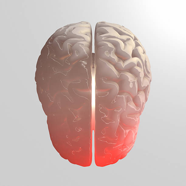 "Human Brain isolated on white background ""Full CG images made by my self, showing a human brain on white background. Illness and Stroke as point of view."" cerebral aqueduct stock pictures, royalty-free photos & images"