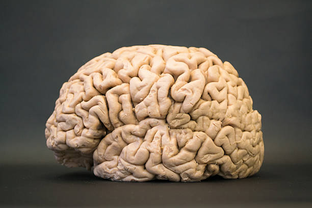 Human brain - lateral view - left side stock photo
