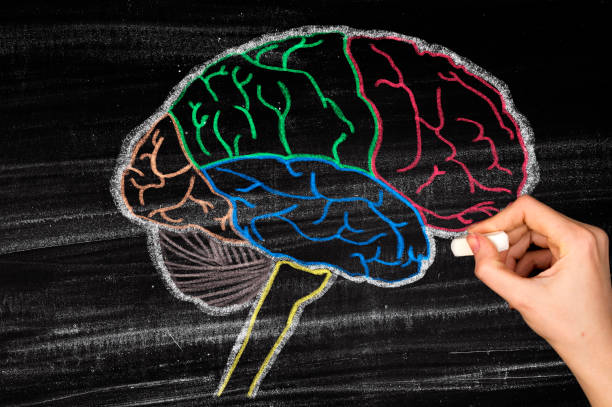 Human Brain Lobes on Blackboard Human Brain Lobes on Blackboard parietal lobe stock pictures, royalty-free photos & images
