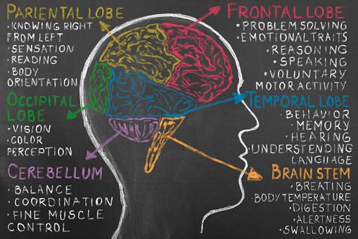Human Brain Lobes on Blackboard. Frontal lobe, occipital lobe, parietal lobe, and temporal lobe. Human hand pointing with chalk lobe of human brain.