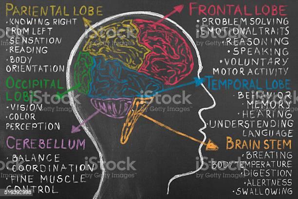 Human brain lobes on blackboard picture id519392998?b=1&k=6&m=519392998&s=612x612&h=w4furyo 9x6xydrzp0qiucbk98zfaa59cx bst9ok34=