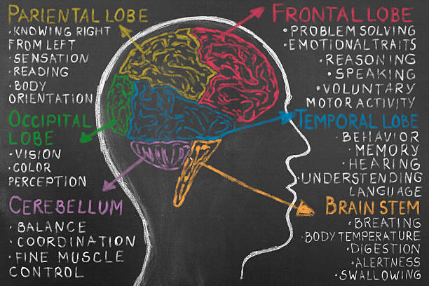 Human Brain Lobes on Blackboard. Human Brain Lobes on Blackboard. Frontal lobe, occipital lobe, parietal lobe, and temporal lobe. Human hand pointing with chalk lobe of human brain. temporal lobe stock pictures, royalty-free photos & images