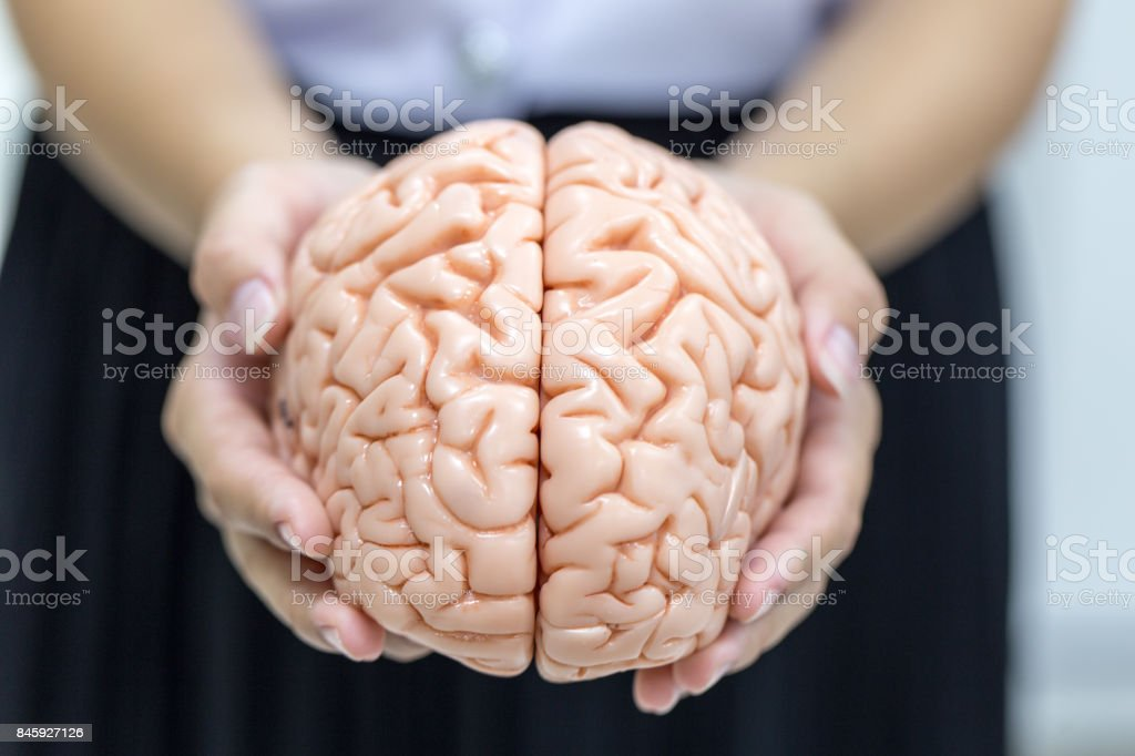 Human brain model for education in laboratory. stock photo