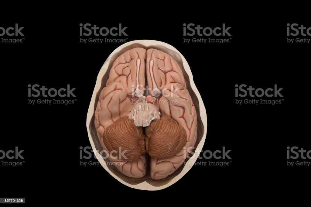 Human brain model isolated on black background stock photo
