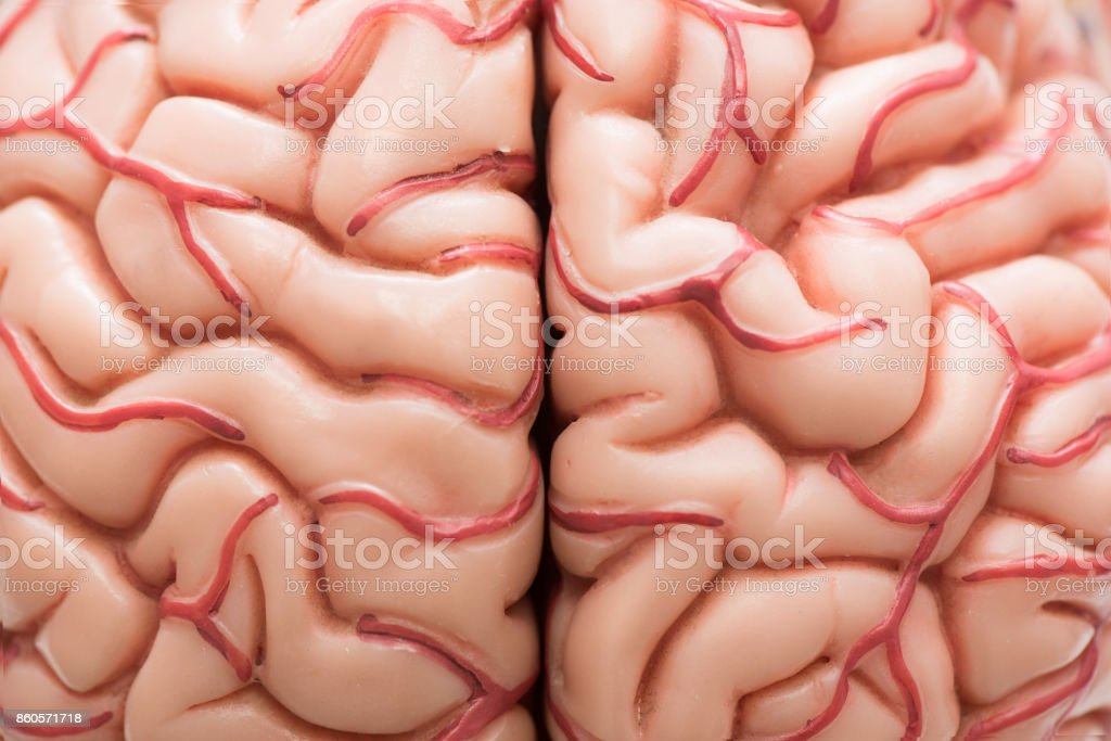 Human brain model stock photo