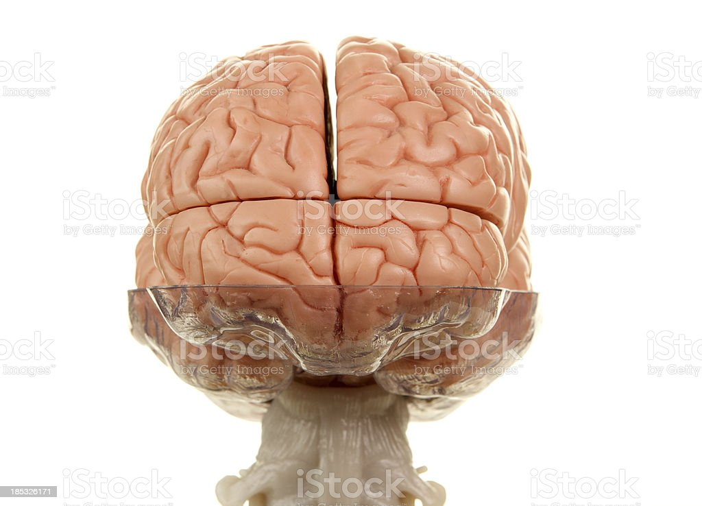 Human Brain Model With Top Of Spinal Cord Rear View Stock Photo