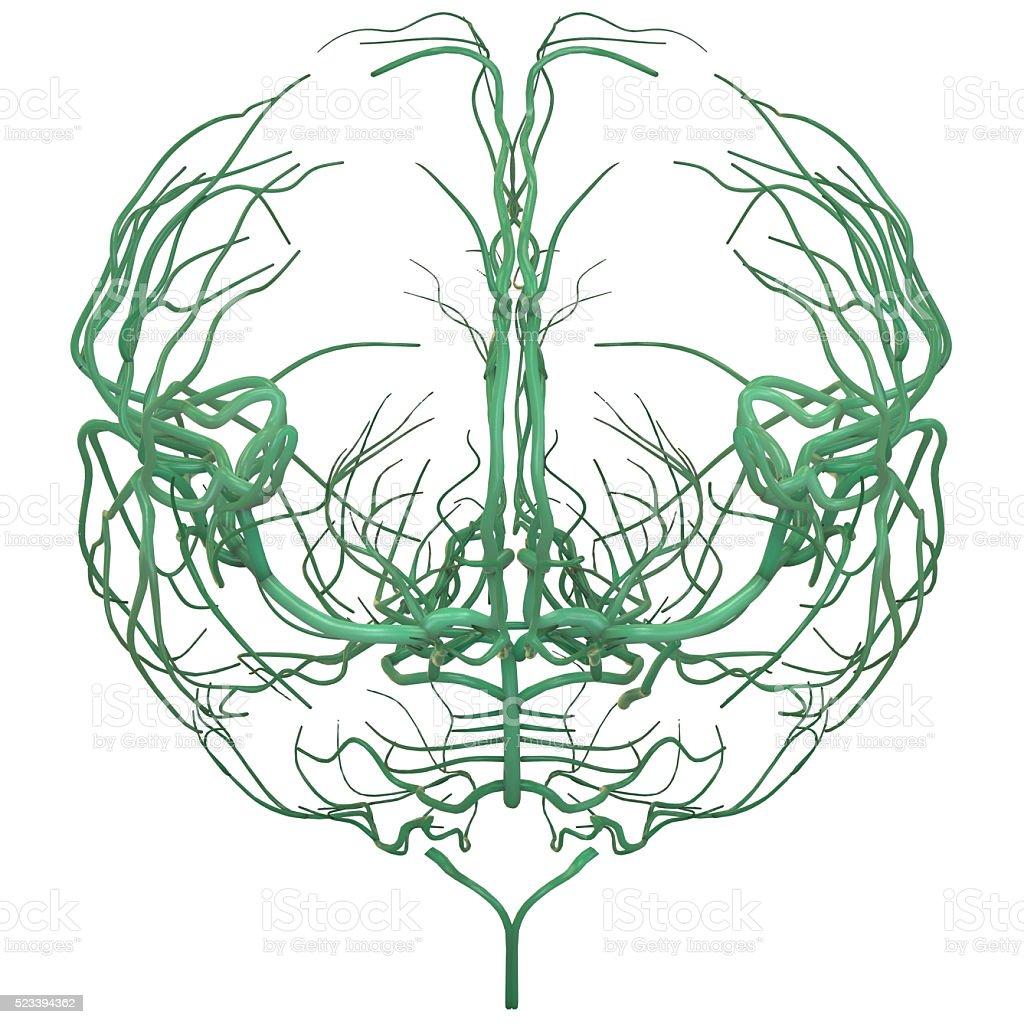 Human Brain Nerves Anatomy stock photo
