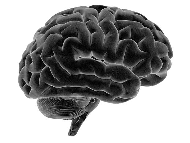 Human brain on side view Human brain on side view and isolated on white background, great to be used in medicine works and health. temporal lobe stock pictures, royalty-free photos & images