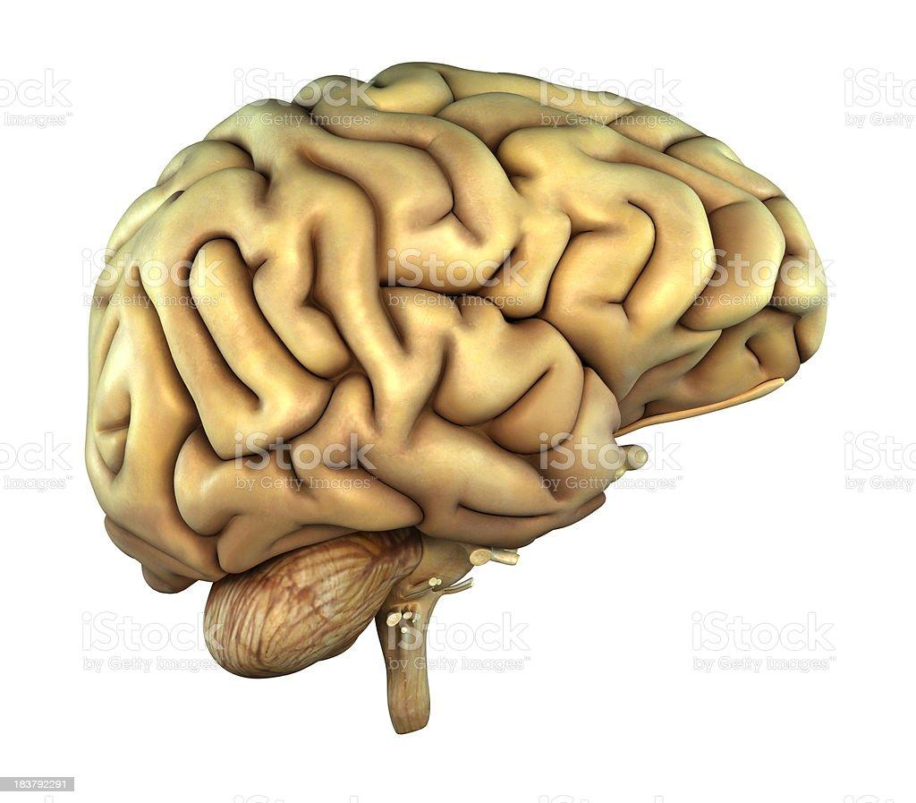 Menschliche Gehirn Auf Der Seite Stock-Fotografie und mehr Bilder ...