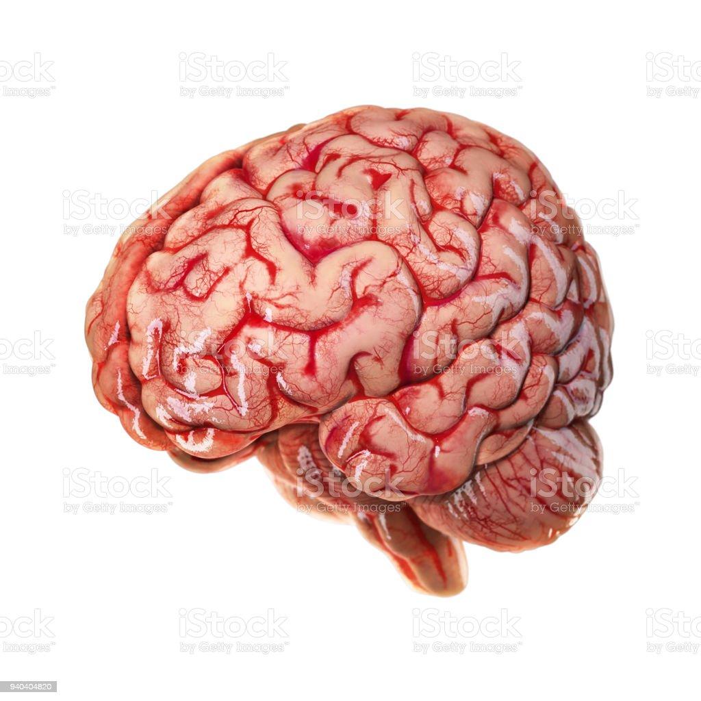 Menschliche Gehirn Auf Weißem Hintergrund Stock-Fotografie und mehr ...