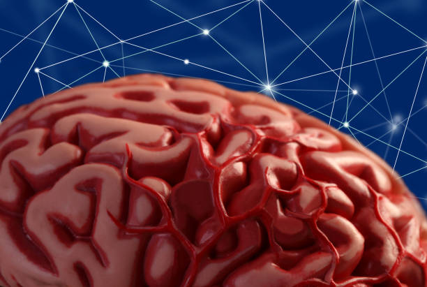 human brain close up to brain model cerebellum stock pictures, royalty-free photos & images