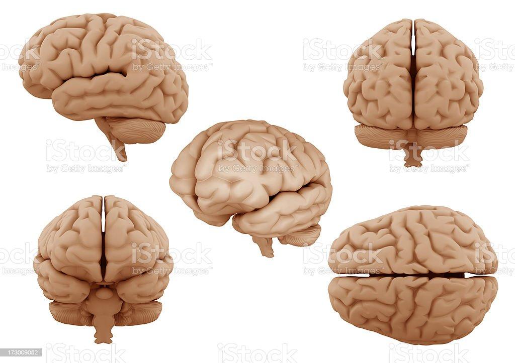 Human Gehirn Stock-Fotografie und mehr Bilder von Anatomie | iStock
