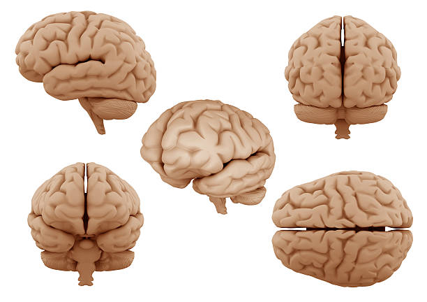 Human Brain Looking a different angles of human brain occipital lobe stock pictures, royalty-free photos & images