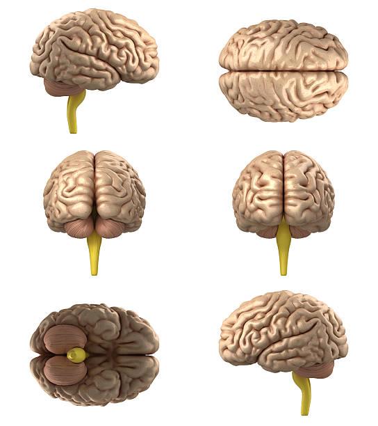 Human Brain(XXXXXL) Human Brain(XXXXXL) cerebellum stock pictures, royalty-free photos & images