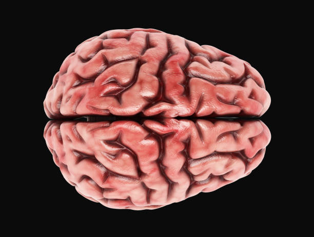 Human Brain - Stock image 3d render of a human brain parietal lobe stock pictures, royalty-free photos & images
