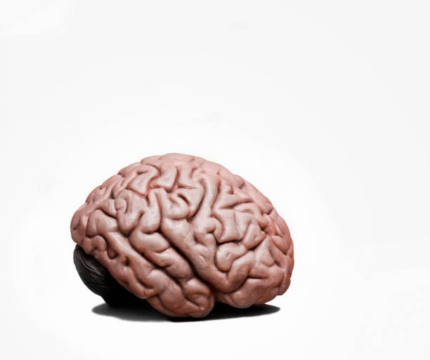 Human Brain V2 Human Brain isolated on a white background cerebellum stock pictures, royalty-free photos & images