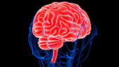 istock Human Brain with Circulatory System Anatomy 990940054