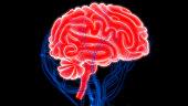 istock Human Brain with Circulatory System Anatomy 990948888