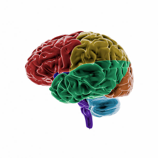 "Human Brain with colored regions ""Full CG images made by my self, showing a colored human brain. Point of interest are the different brain regions."" auditory cortex stock pictures, royalty-free photos & images"