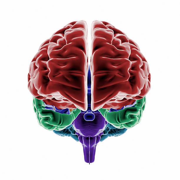 "Human Brain with colored regions ""Full CG images made by my self, showing a colored human brain. Point of interest are the different brain regions."" cerebral aqueduct stock pictures, royalty-free photos & images"