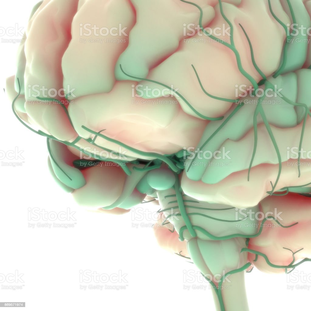 Human Brain with Nervous system Anatomy stock photo
