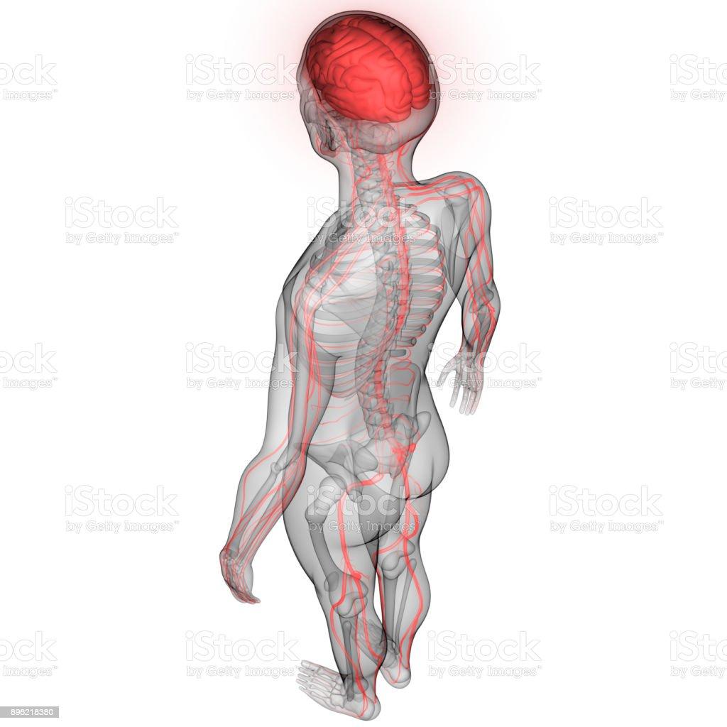 Menschliche Gehirn Nervensystem Anatomie Stock-Fotografie und mehr ...