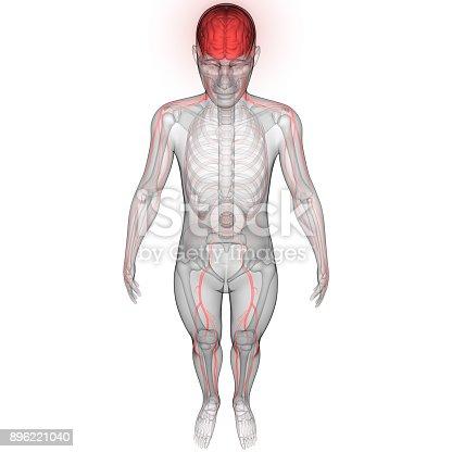istock Human Brain with Nervous system Anatomy 896221040